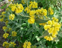 Phlomis fruticosa  Licensed under Creative Commons Attribution