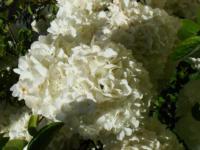 Viburnum macrocephalum Chinese Snowball