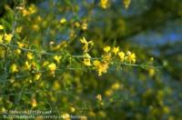 Flowers of Blue Palo Verde tree