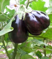Eggplant black