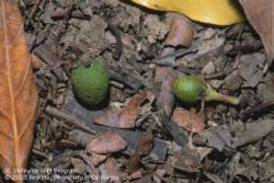 Avocado fruit drop