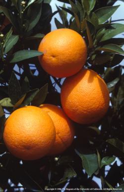 Nvel orange