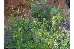 Cercocarpus minutiflorus photo by JS Peterson USDA