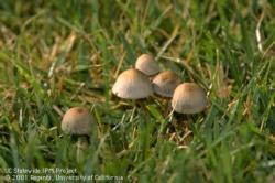 Mushroom in lawn Panaeolus foenisecii.