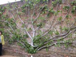 espalier fig tree