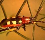 asparagus beetle adult