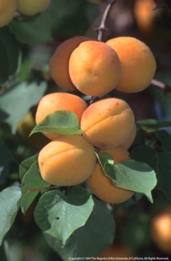 Apricot on Tree