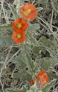 Desert Mallow Sphaeralcea ambigua