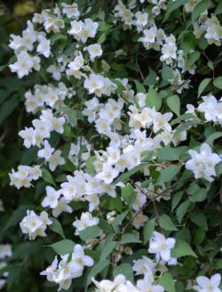 Mock Orange - Philadelphus lewisii by Alvesgaspar - Own work. Licensed under CC BY-SA 3.0 via Wikimedia Commons