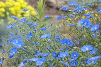 Blue Flax by Debbie Ballentine