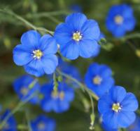 Blue Flax flowers by Debbie Ballentine