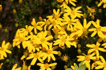 Chrysactinia Mexicana flowers