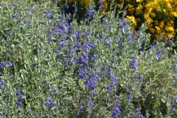 Salvia chamaedryoides plant