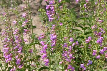 Penstemon spectabilis garden