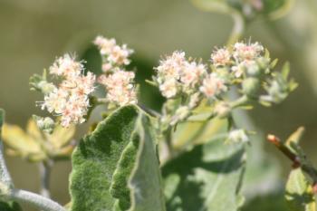 Eriogonum giganteum flowers