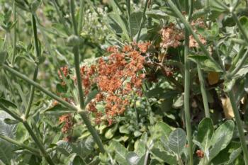 Eriogonum giganteum flowers rusty