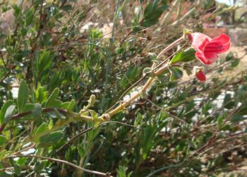 Penstemon baccharifolius photo by Desert Rivers Audubon