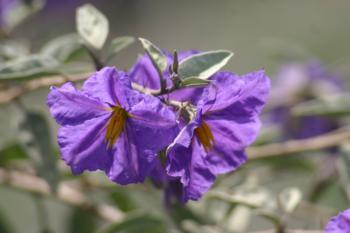 Solanum hindsianum flower
