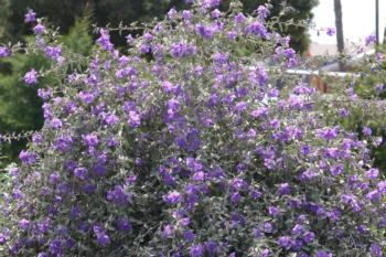 Solanum hindsianum shrub