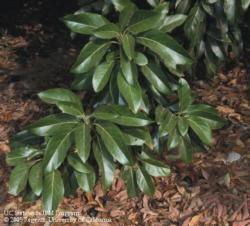 Avocado Leaf Mulch