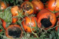 tomato black mold