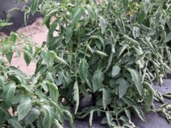 tomato leaf roll